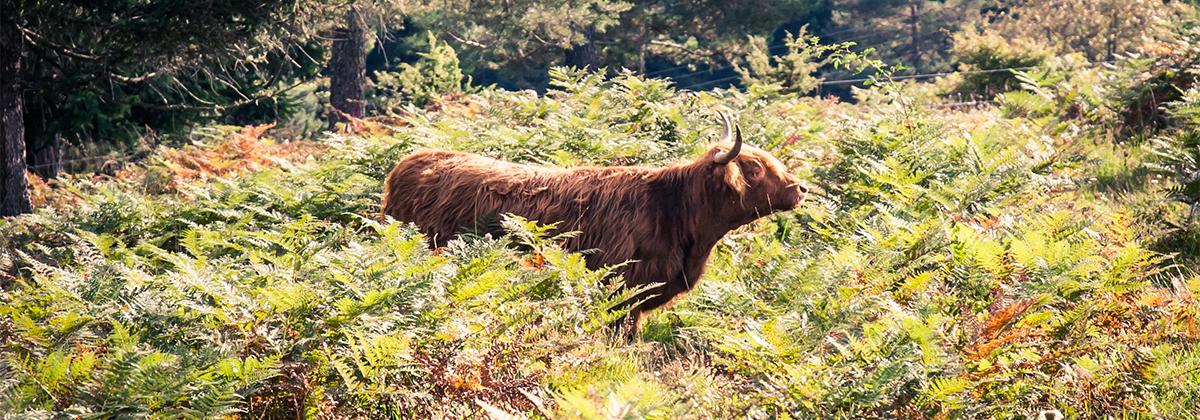 Les robustes vaches Highland introduites dans le Sud jurassien par Adapemont ne sont pas seulement de formidables débroussailleuses écologiques. Elles inaugurent de nouvelles perspectives économiques dans un territoire encore très enclavé. Quand la Petite Montagne est belle, comment peut-on s'imaginer que le projet ne rencontre pas le succès ?